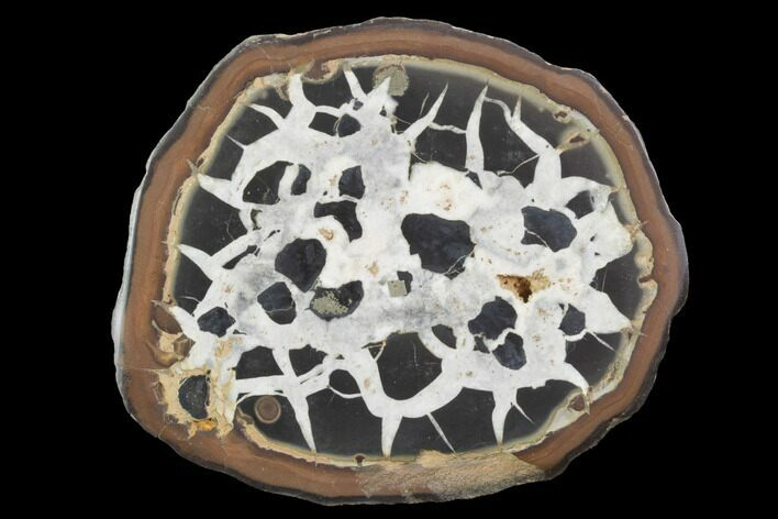 "3.1"" Cut/Polished Septarian Nodule Half - Morocco"