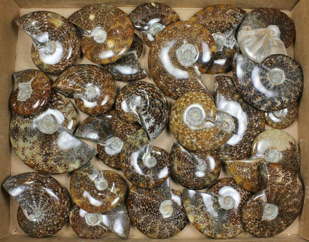 "Wholesale: 3-5"" Whole Polished Ammonites (Grade A) - 25 Pieces"
