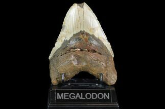 "Bargain, 5.09"" Megalodon Tooth - North Carolina For Sale, #101348"