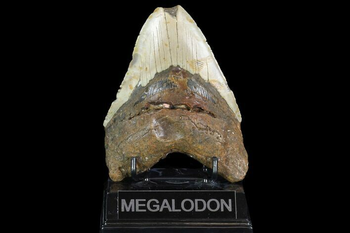 "Bargain, 5.09"" Megalodon Tooth - North Carolina"
