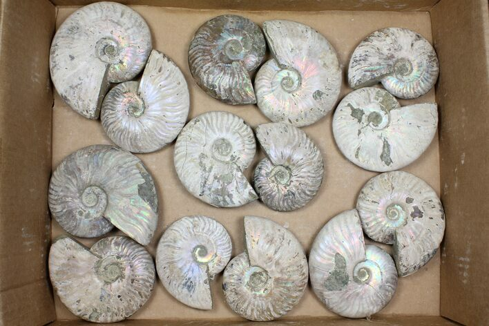 "Wholesale Lot: 3.5-4.5"" Silver Ammonite Fossils - 14 Pieces"
