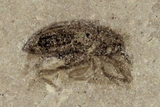 "Buy .3"" Fossil Weevil (Snout Beetle) - Green River Formation, Utah - #101614"