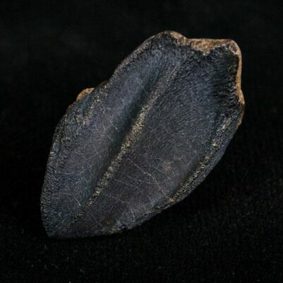 Unworn Triceratops tooth with no root