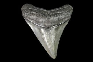 Carcharocles megalodon - Fossils For Sale - #101355