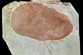 "Buy 4.3"" Fossil Leaf (Zizyphoides) - Montana - #101881"