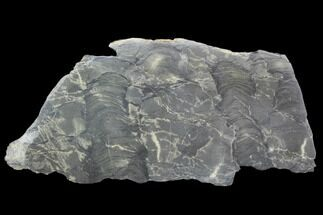 "9.9"" Polished Stromatolite From Russia - 950 Million Years For Sale, #102038"