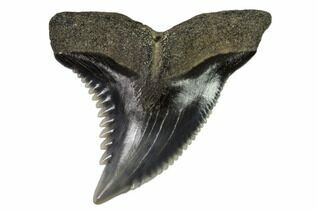 Fossil Shark Teeth For Sale
