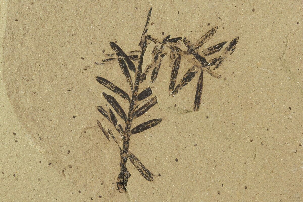 1 3 U0026quot  Metasequoia  Dawn Redwood  Fossils