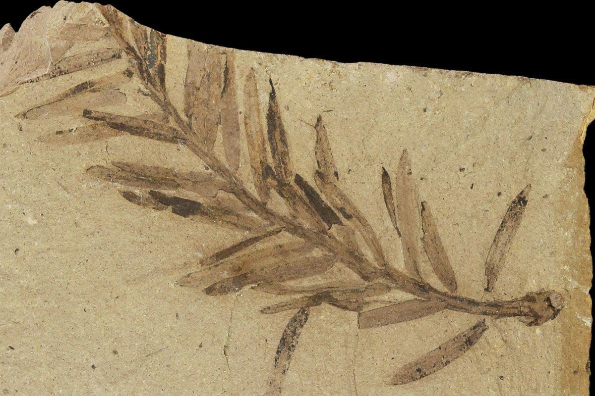 1 5 U0026quot  Metasequoia  Dawn Redwood  Fossils