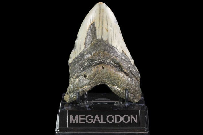"Bargain, 4.66"" Fossil Megalodon Tooth - North Carolina"