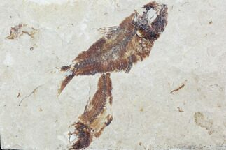 Armigatus sp. - Fossils For Sale - #102591