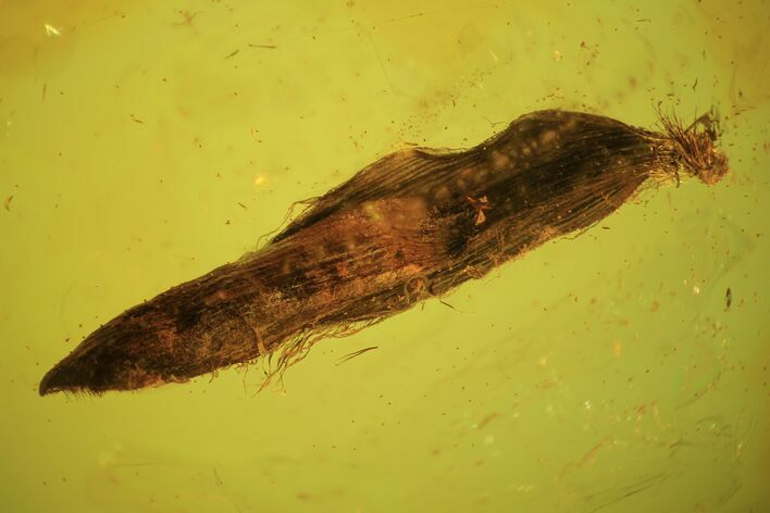 8mm Fossil Plant Leaf (Gymnosperm) In Baltic Amber