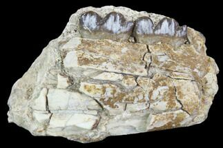 "1.8"" Oligocene Horse (Mesohippus) Jaw Section For Sale, #101861"