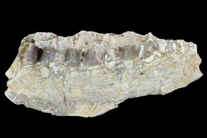 "2.9"" Oreodont (Leptauchenia) Jaw Section - South Dakota"