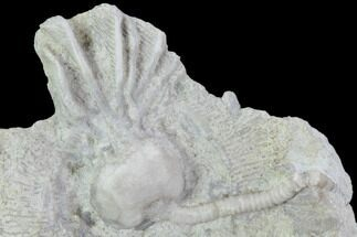 "1.2"" Crinoid (Cribanocrinus) Fossil on Rock - Gilmore City, Iowa For Sale, #102959"