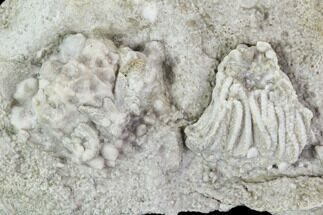 ".5"" Crinoid (Rhodocrinites) Fossil on Rock - Gilmore City, Iowa For Sale, #102968"
