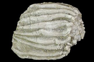 "Buy 1.3"" Fossil Crinoid (Batocrinus) Crown - Huntsville, Alabama - #102976"