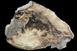 "Buy 10.2"" Petrified Wood Slab (Juniper) -Nevada - #103042"