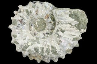 "Buy 3.1"" Bumpy Ammonite (Douvilleiceras) Fossil - Madagascar - #103057"