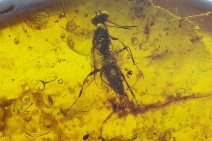 Cretaceous Fossil Wasp (Hymenoptera) in Amber - Myanmar