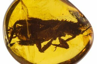 Buy Cretaceous Fossil Bug Nymph (Hemiptera) in Amber - Myanmar - #102955
