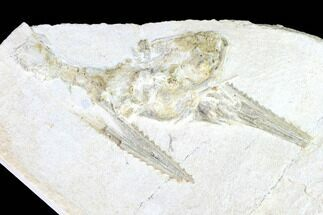 Pleurosaurus  - Fossils For Sale - #97512