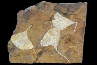 Fossil Ginkgo Leaves From North Dakota - Paleocene For Sale, #103877