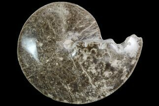 "7.3"" Polished Ammonite (Choffaticeras) Fossil - Morocco For Sale, #103820"