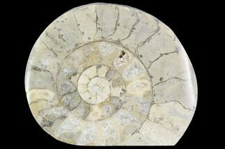 "Buy 2.4"" Polished Ammonite (Hildoceras) Fossil - England - #103990"