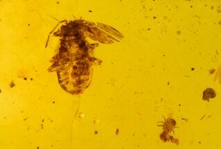 Buy Cretaceous Fossil True Bug Nymph (Hemiptera) in Amber - Myanmar - #102898