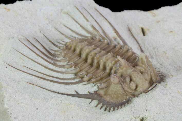 "1.05"" Kettneraspis Trilobite - Black Cat Mountain, Oklahoma"