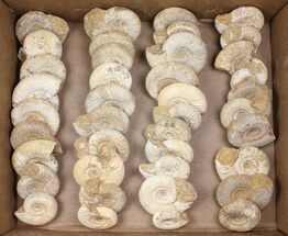 Wholesale Lot: 10 Lbs Perisphinctes Ammonite Fossils - 40 Pieces For Sale, #103847