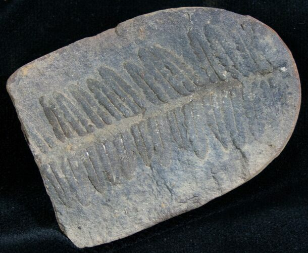 300 Million Year Old Fern Fossil - 2.2""