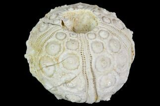 Drocidaris taouzensis  - Fossils For Sale - #104496