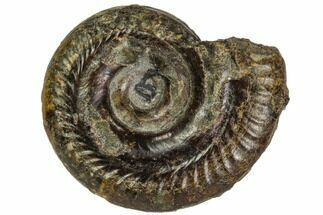 Hildoceras bifrons - Fossils For Sale - #104544