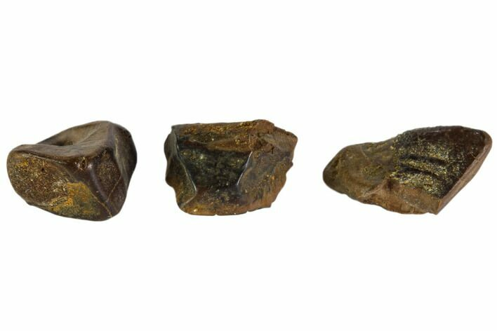 3 Hadrosaur Tooth Fragments - Montana