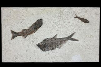 "39"" Wide Green River Fossil Fish ""Mural"" - Authentic Fossils For Sale, #104585"