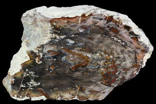 "6.0"" Petrified Wood - Oregon For Sale, #104804"