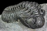 "1.8"" Adrisiops Weugi Trilobite - Scarce Phacopid Species - #104962-1"