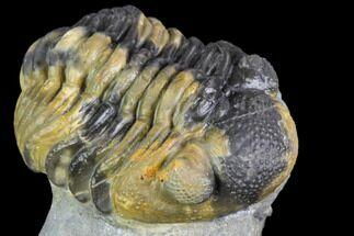 "1.9"" Multi-Colored Phacops Araw Trilobite For Sale, #104966"