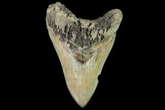 "Buy Serrated, 4.76"" Fossil Megalodon Tooth - Battery Creek, SC - #104989"