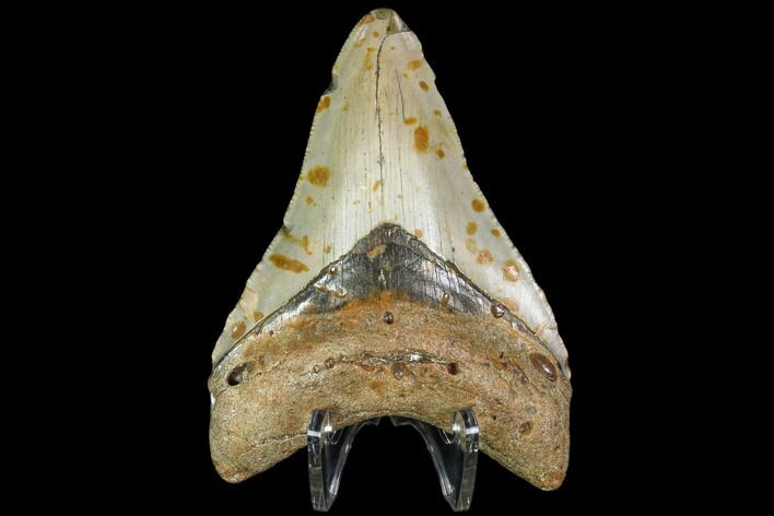 "3.99"" Fossil Megalodon Tooth - North Carolina"