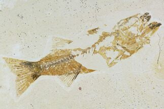 Mioplosus labracoides - Fossils For Sale - #105330