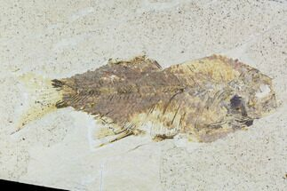"Buy Bargain, 6.2"" Mioplosus Fossil Fish - Uncommon Species - #105331"