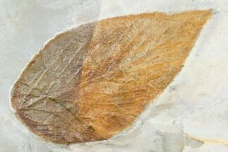 "Buy Large, 4.4"" Fossil Hackberry (Celtis) Leaf - Montana - #105184"