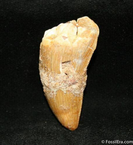 1 1/4 Inch Partial Carcharodontosaurus Tooth