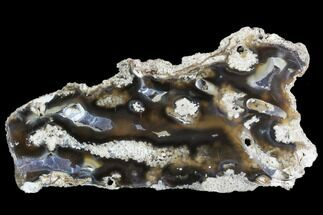 "5.6"" Agatized Fossil Coral Geode - Florida For Sale, #105324"