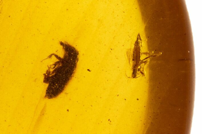 Cretaceous Fossil Insects (Weevil & Bug) in Amber - Myanmar