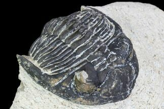 "Bargain, 2"" Hollardops Trilobite - Visible Eye Facets For Sale, #105980"