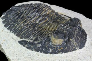 Hollardops merocristata - Fossils For Sale - #105990